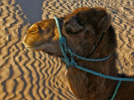 Blue-Camel